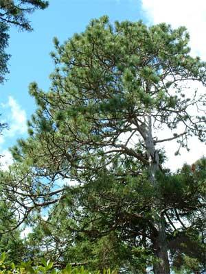 pine_trees_300400