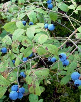 wild_berries_309390