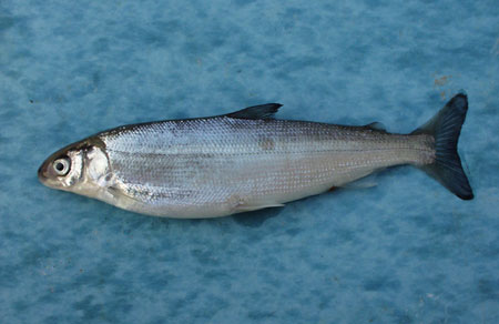 The only know Atlantic whitefish population lives in the Petite River watershed.